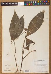 Psychotria lupulina Benth.