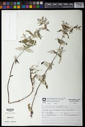 Caesarea albiflora Cambess.