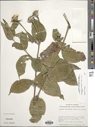 Lasianthaea macrocephala (Hook. & Arn.) K.M. Becker