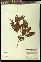Trichilia quadrijuga Kunth