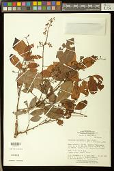 Trichilia surinamensis (Miq.) C. DC.