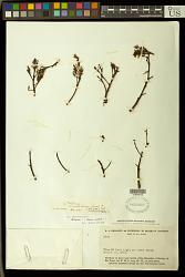 Trichilia sp.