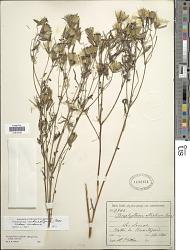 Porophyllum ruderale subsp. macrocephalum (DC.) R.R. Johnson