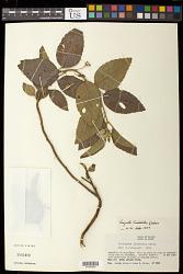 Piriqueta tamberlikii Urb.