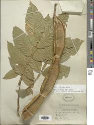 Inga lindeniana Benth.