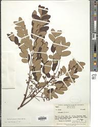 Albizia procera (Roxb.) Benth.