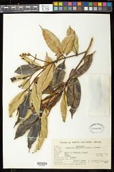 Marlierea sylvatica (Gardner) Kiaersk.