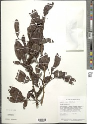 Calliandra coriacea (Willd.) Benth.