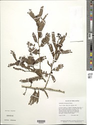 Calliandra surinamensis Benth.