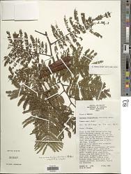 Leucaena trichandra (Zucc.) Urb.