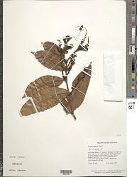 Paloue guianensis Aubl.