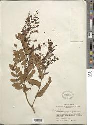 Copaifera sp.