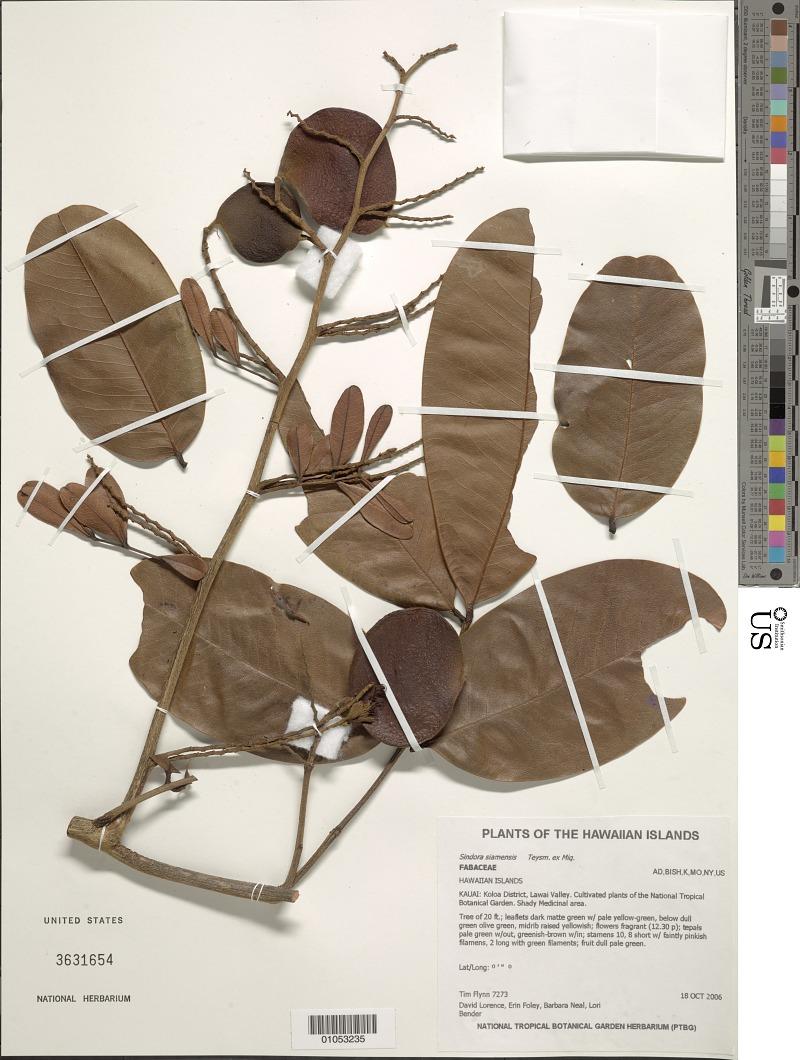 Resources :: Sindora siamensis Teysm. ex Miq. | Smithsonian Learning Lab
