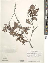 Macrolobium suaveolens Benth. var. suaveolens