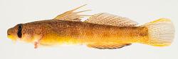Sicyopterus pugnans