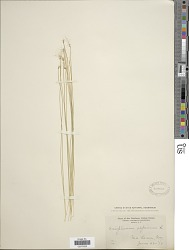 Trichophorum hudsonianum (Michx.) Pers.