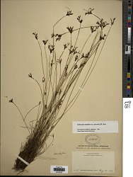 Bulbostylis ciliatifolia (Elliott) Fernald