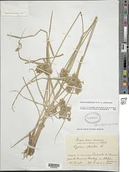 Cyperus polystachyos Rottb. var. polystachyos