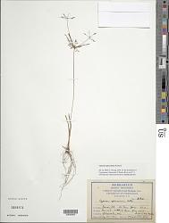 Cyperus sphacelatus Rottb.