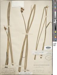 Schoenoplectus tabernaemontani (C.C. Gmel.) Palla