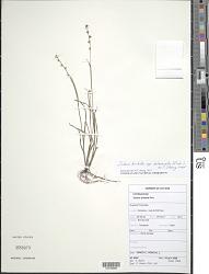 Scleria hirtella subsp. interrupta