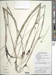 Diplacrum capitatum (Willd.) Boeckeler