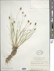Carex crawfordii Fernald