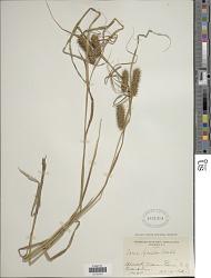 Carex lurida Wahlenb.