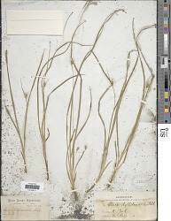 Carex willdenowii Schkuhr ex Willd.