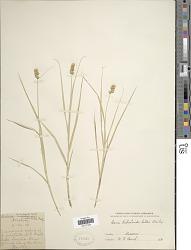 Carex tribuloides var. bebbii L.H. Bailey