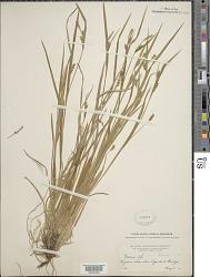 Carex gracilescens Steud.