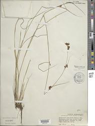 Rhynchospora capitellata (Michx.) Vahl