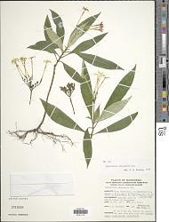 Ophiorrhiza palauensis Valeton
