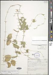 Macrotyloma axillare var. axillare