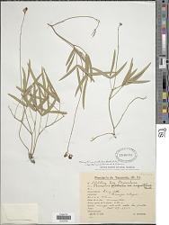 Macroptilium prostratum (Benth.) Urb.