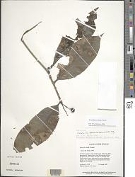 Ixora ferrea (Jacq.) Benth.