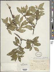 Psychotria liogieri Steyerm.