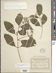 Psychotria pubescens Sw.