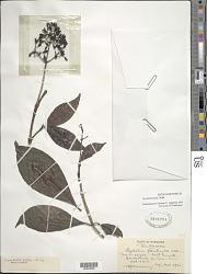 Psychotria mapourioides DC.