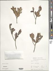 Stenostomum myrtifolium Griseb.