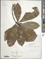 Psychotria nigra (Gaertn.) Alston