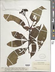 Palicourea corymbifera (Müll. Arg.) Standl.