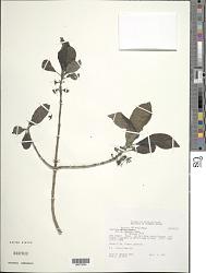 Coprosma kauensis A. Heller