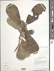 Pouteria surumuensis Baehni