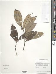 Micropholis porphyrocarpa (Baehni) Monach.