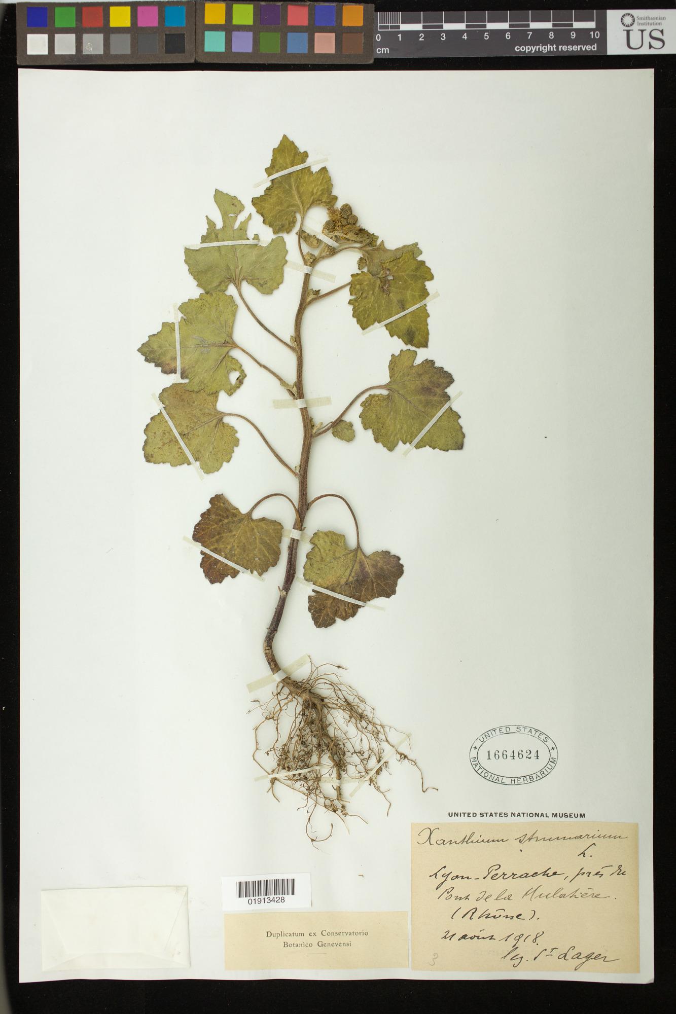 Resources :: Xanthium strumarium L  | Smithsonian Learning Lab