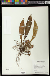 Tylopsacas cuneata (Gleason) Leeuwenb.
