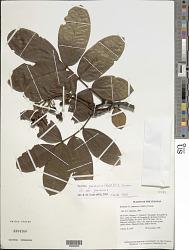 Swartzia panacoco (Aubl.) R.S. Cowan var. panacoco