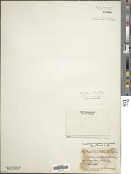 Microcoleus vaginatus (Vaucher) Gomont ex Gomont