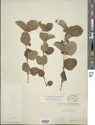 Symphoricarpos occidentalis Hook.